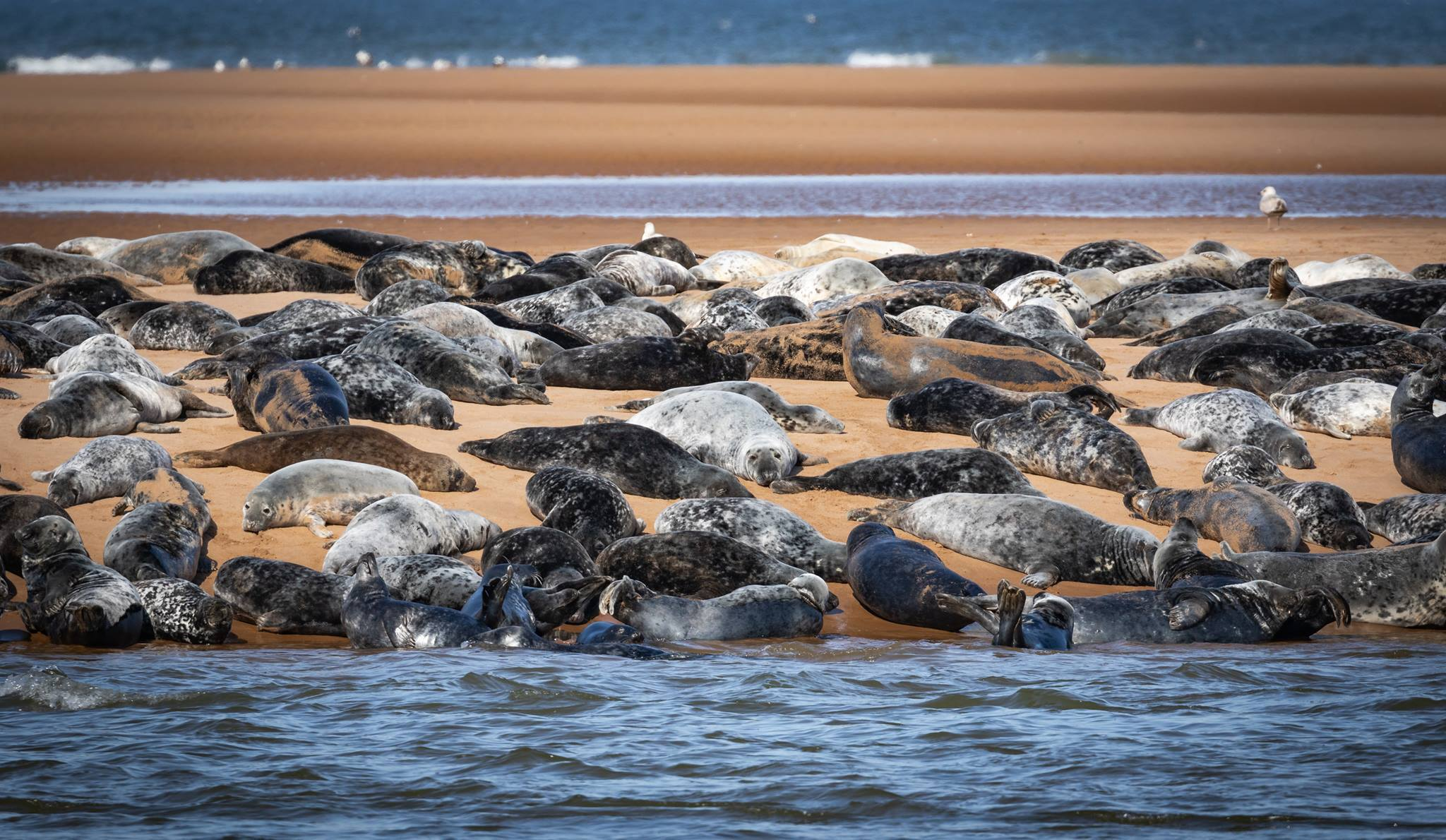 Seals in the Ythan estuary.