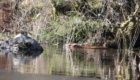 Beavers have been released in Knapdale Forest.