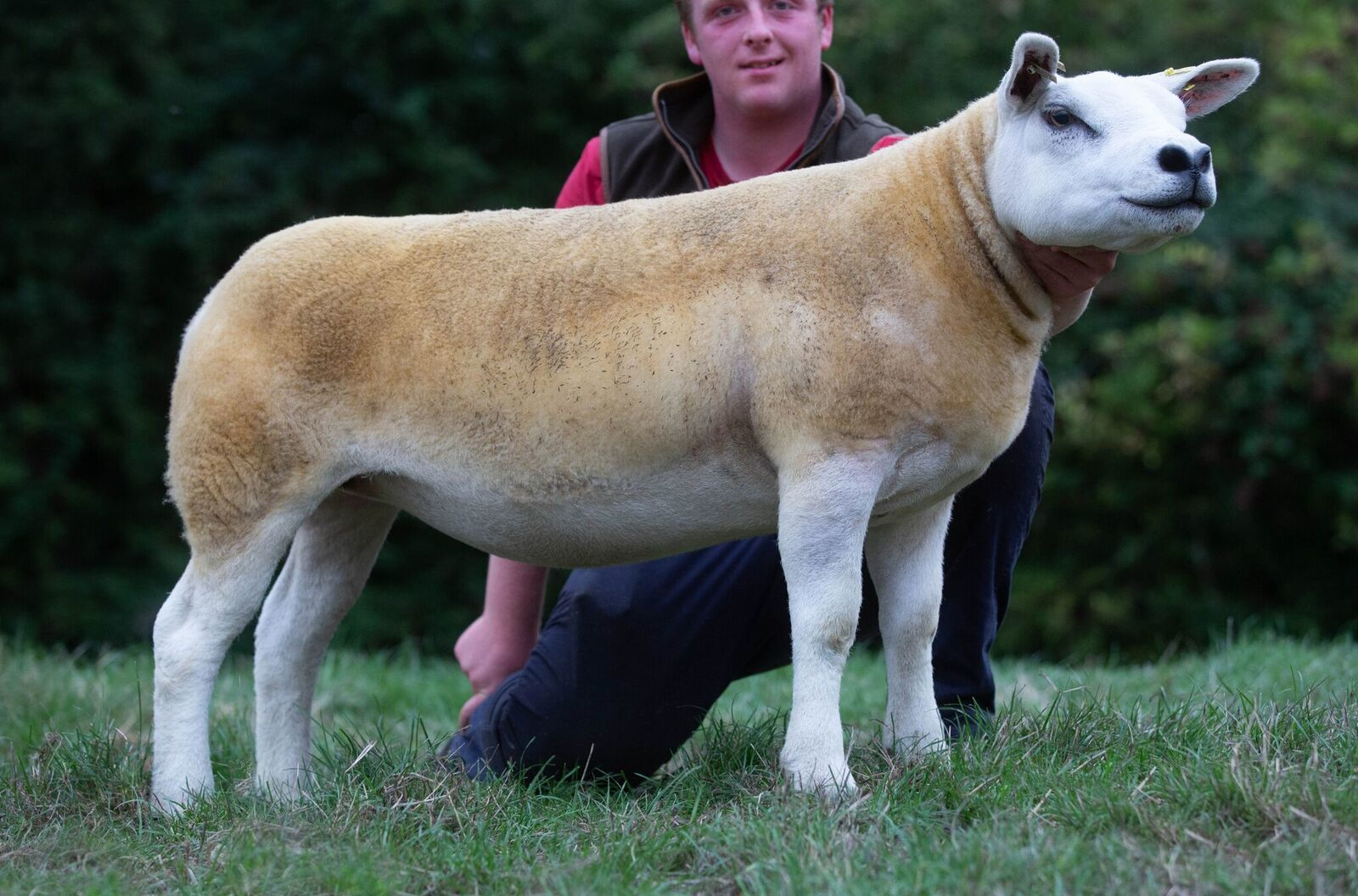 The top priced Milnbank gimmer.