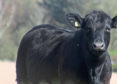 Aberdeen-Angus cattle    (Submitted)