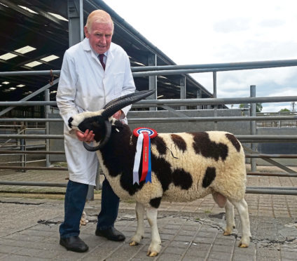 The supreme champion and top priced lot, at 2,100gn and setting a new centre record, at the Scottish Jacob sale at St Boswells in August 2018.