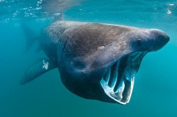 A basking shark feeding in open water off the Cornish Coast in June.