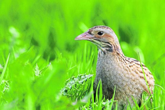 The corncrake, as one of Scotland's rarest breeding birds