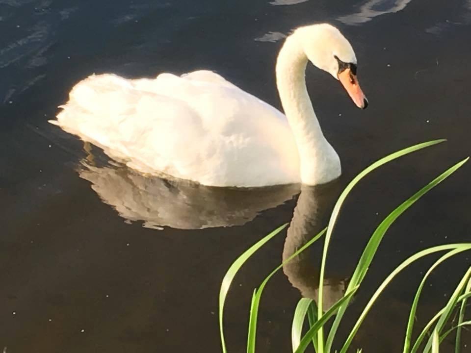 Three swans were found dead.