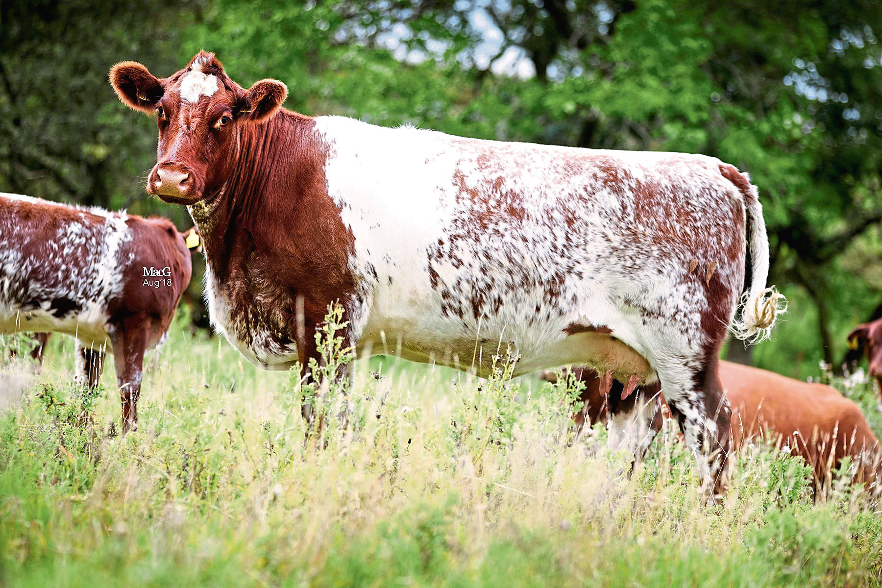 The 6,000gn lot from the HW Beef Shorthorn dispersal sale.