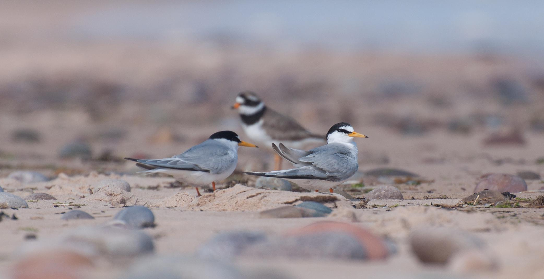 Little terns on Lossiemouth's East Beach in 2013. Picture: Margaret Sharpe.