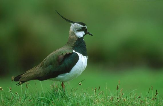 Lapwing population numbers have plummeted across the country.