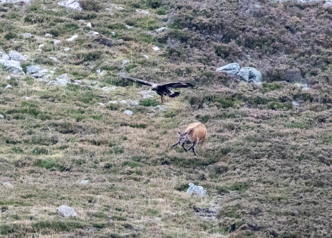 The moment a golden eagle swooped on a red deer. (Picture: Colin Black)