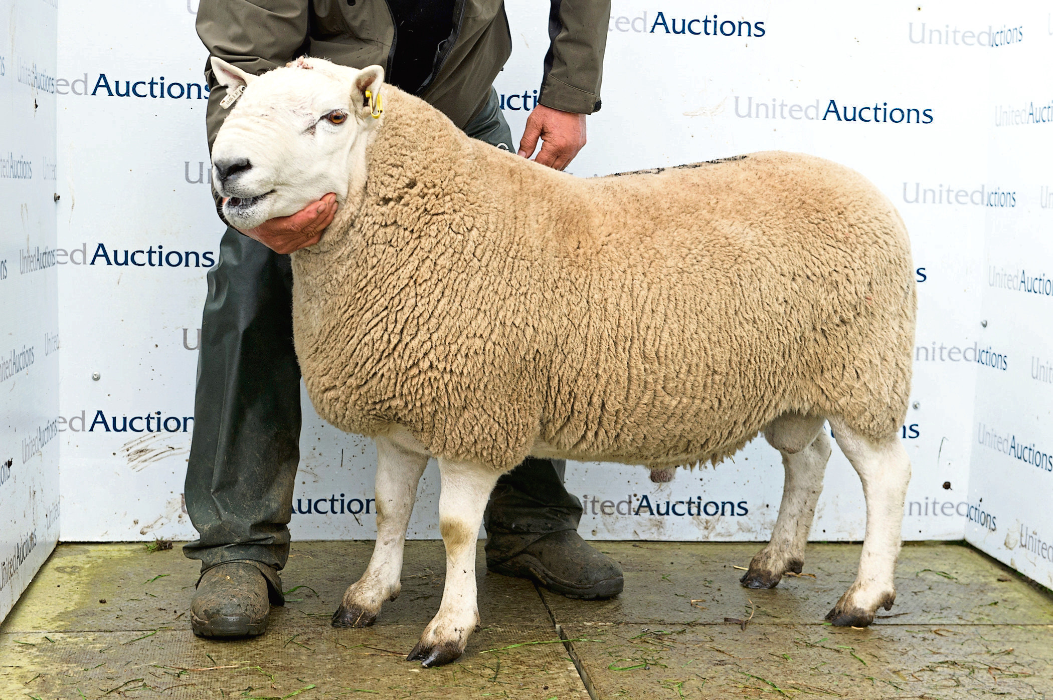The £14,000 Suisgill tup.