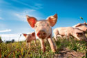 A close up photo of a cute little pig