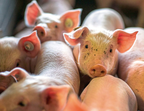 Piglets Piglets a few days old in a stall of animal breeding farm Losten, Germany, 21 August 2014. Up to 160,000 piglets are born in the stalls every year. With 65,000 animals the farm is one of the largest pig farms in Germany. Photo: Jens Buettner/dpa
