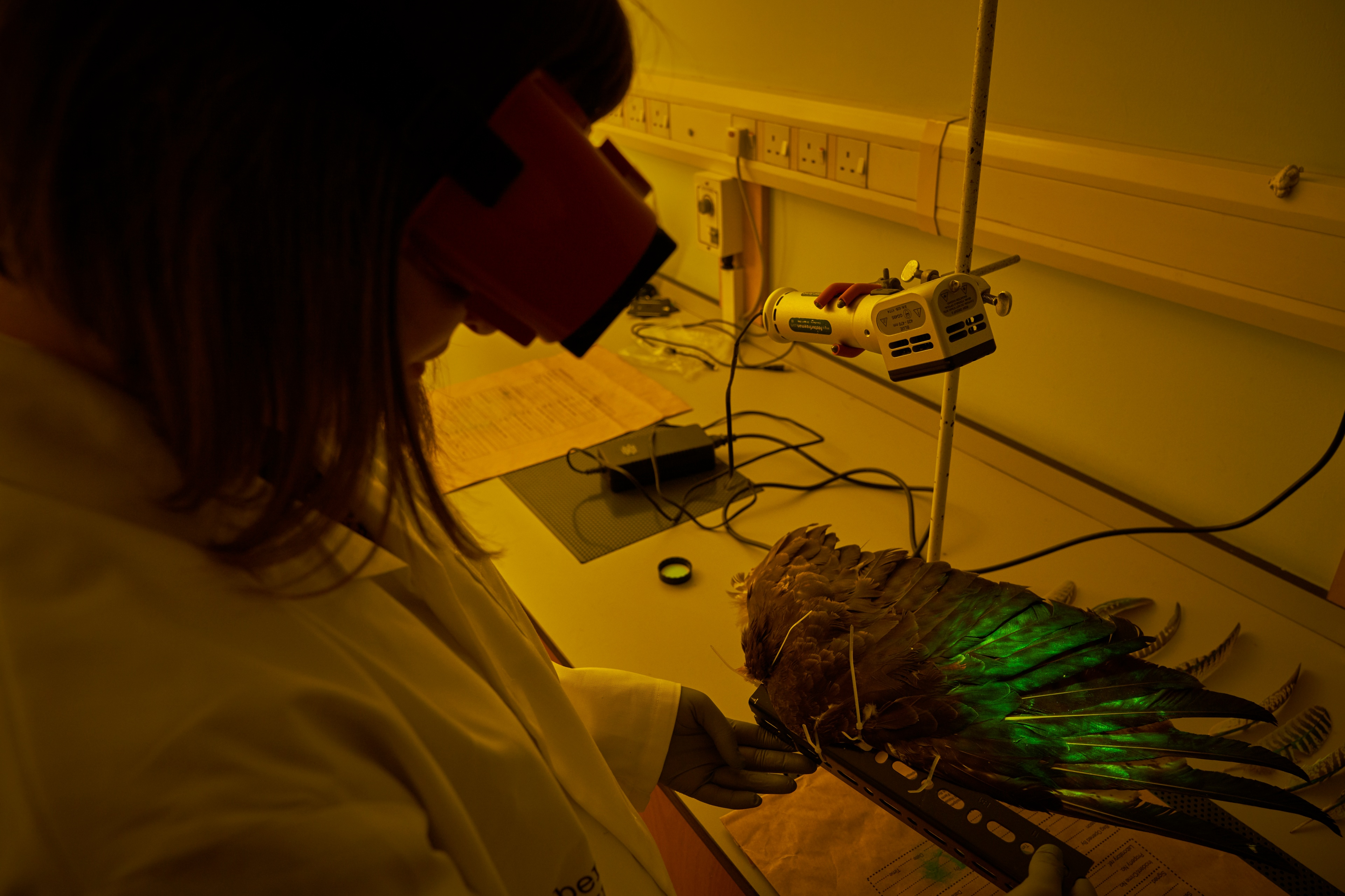 An Abertay University study has discovered that fingerprints can be recovered from bird feathers, even if they have been left outside and exposed to environmental conditions. The research could lead to breakthroughs in the investigation of wildlife crime.