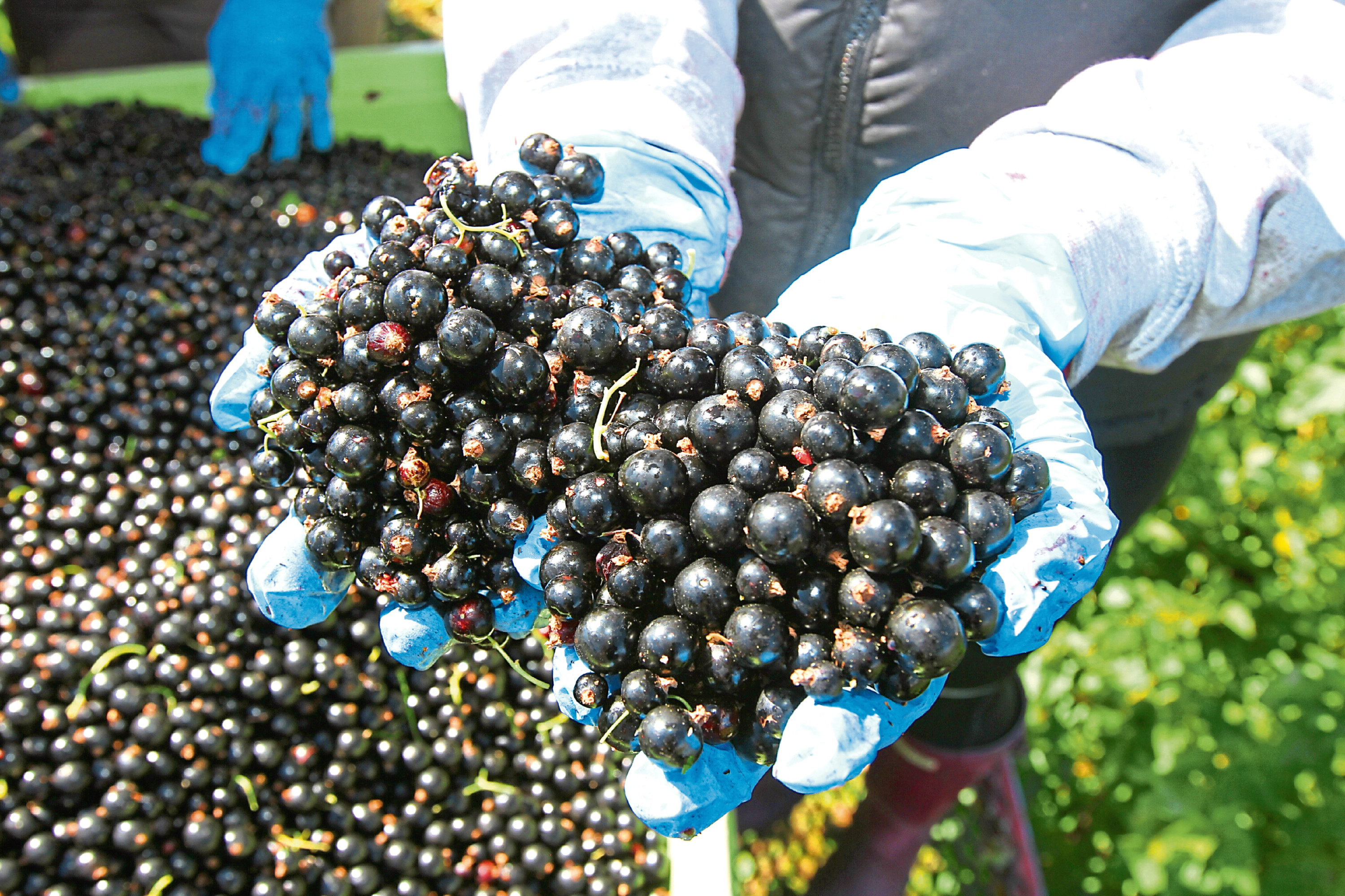 Courier farming- East Adamston Farm,blackcurrants,Ribena day on saturday,feature by Nancy,picture shows; Andrew Husband with his blackcurrants,wednesday 2nd august.