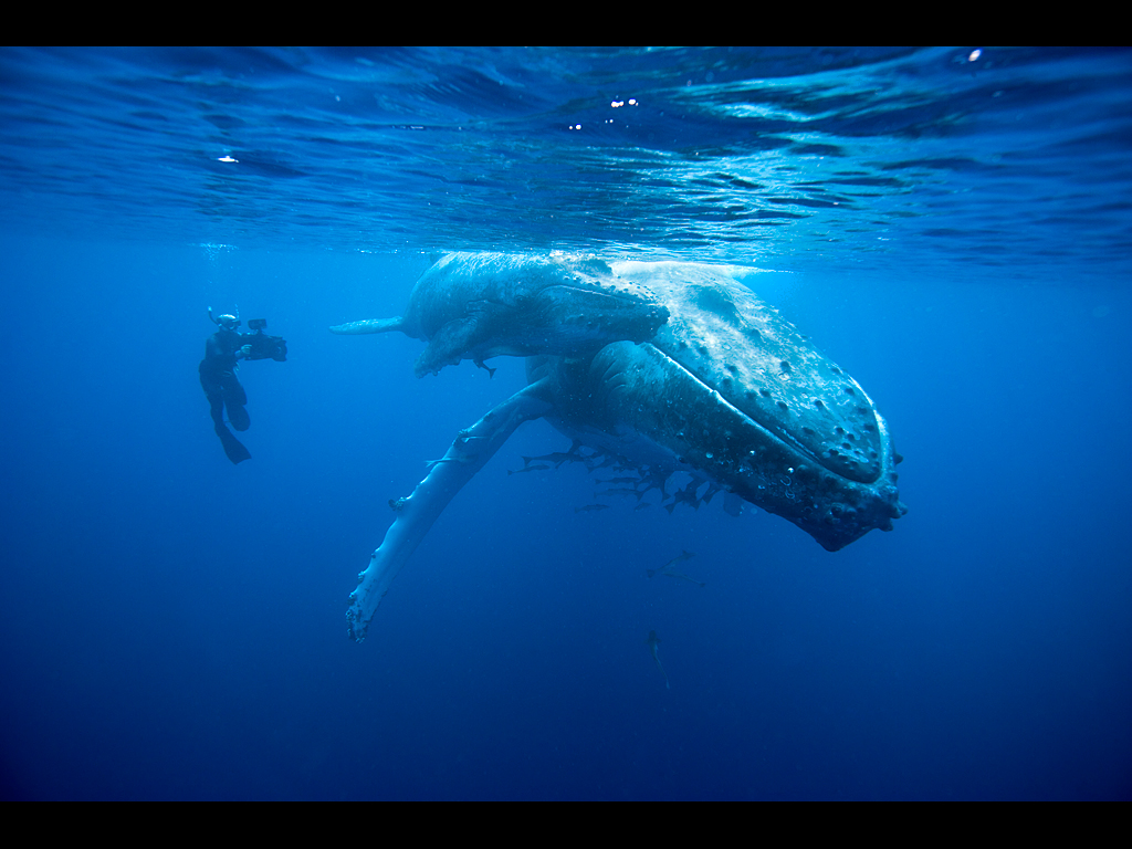 Doug Allan filming Humpback whale mother and calf (Megaptera novaeangliae), Kingdom of Tonga, South Pacific, during filming for Planet Earth, Sept 2005.