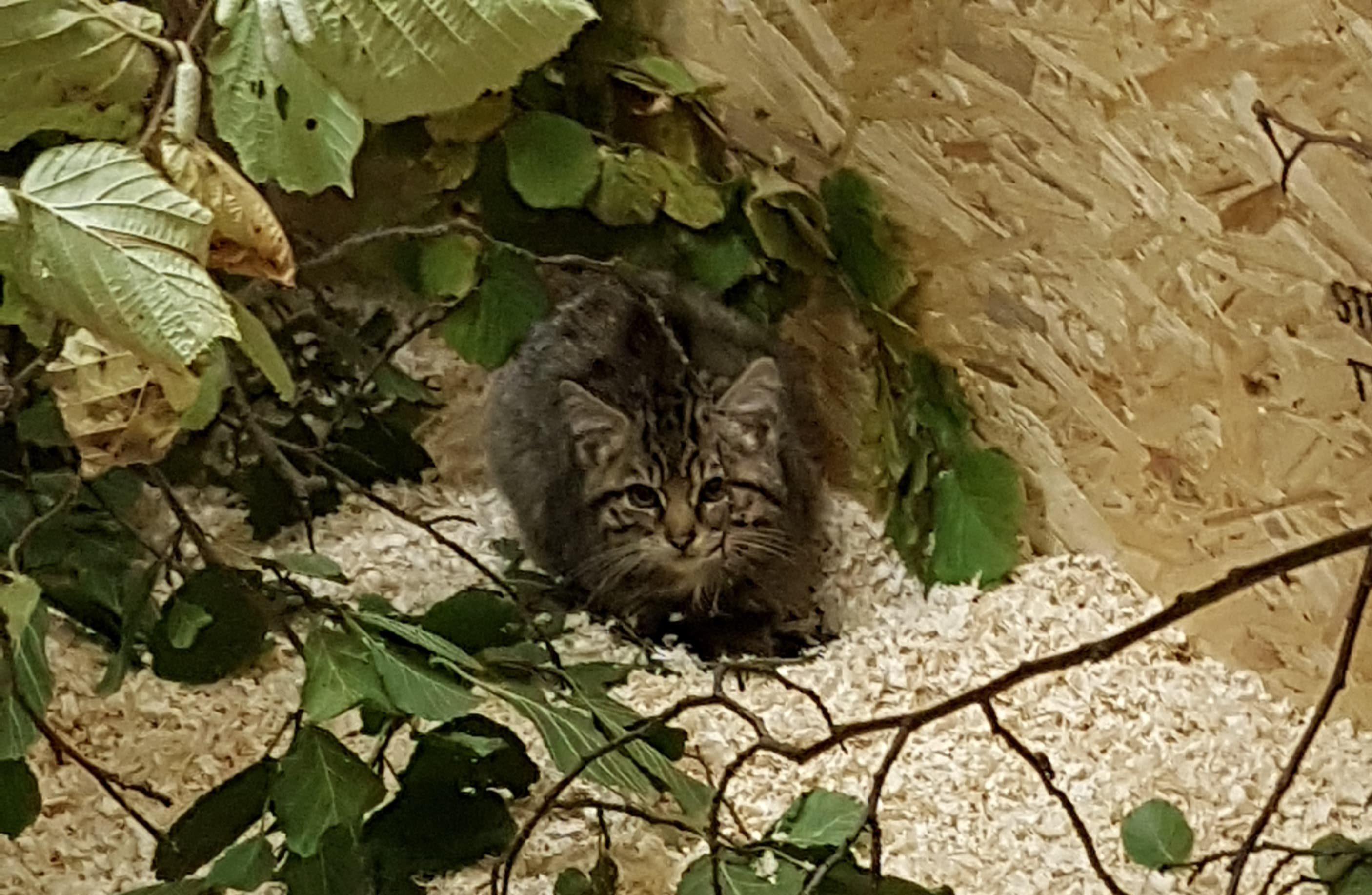 The kitten found by Wildcat Haven in Aberdeenshire