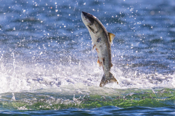 Atlantic salmon has been identified as at risk. (Picture: Charlie Phillips)