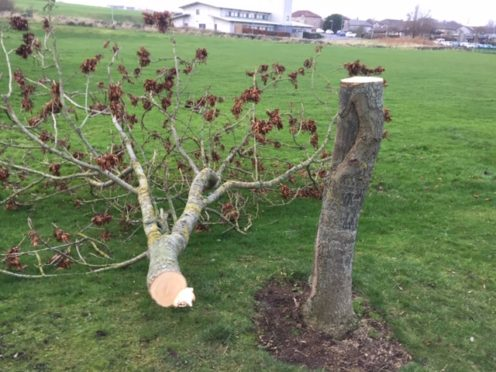 One of the trees sawed in half near Loirston Close