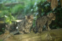 Wildcat kittens at the Highland Wildlife Park.