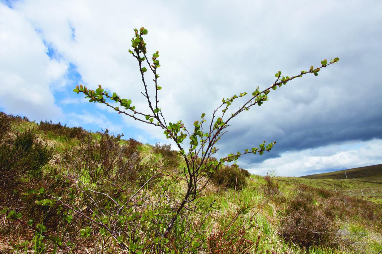 Dwarf birch inside Trees for Life Dundreggan exclosure