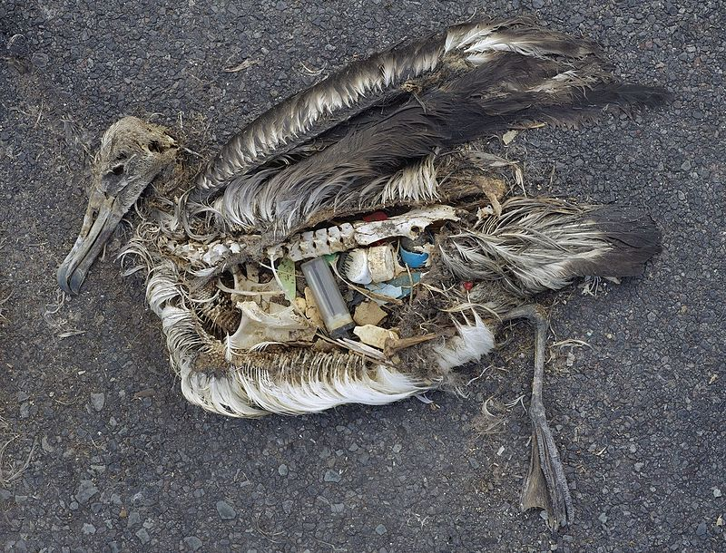 Plastic pollution is harmful for marine life - this dead albatross chick's stomach was full of plastic waste. The chick was photographed on Midway Atoll National Wildlife Refuge in the Pacific include plastic marine debris fed the chick by its parents. Photo taken by Chris Jordan (Creative commons)