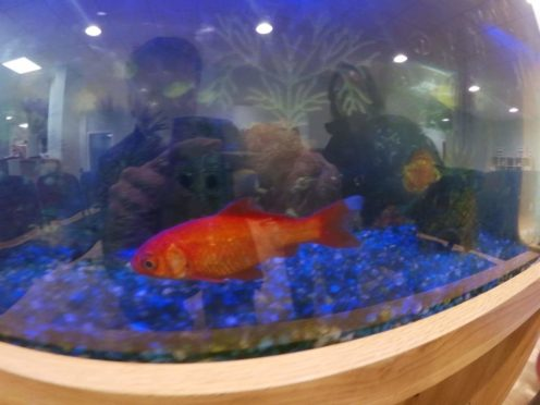 Orange, the goldfish.