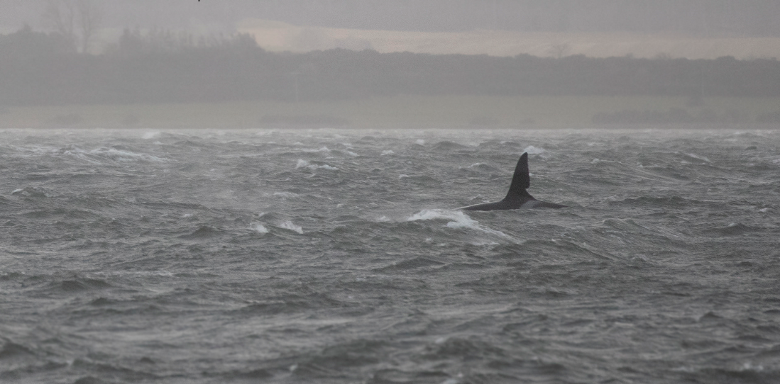 Orca John Coe was spotted near Chanonry Point in the Black Isle by Whale and Dolphin Conservation field officer Charlie Phillips