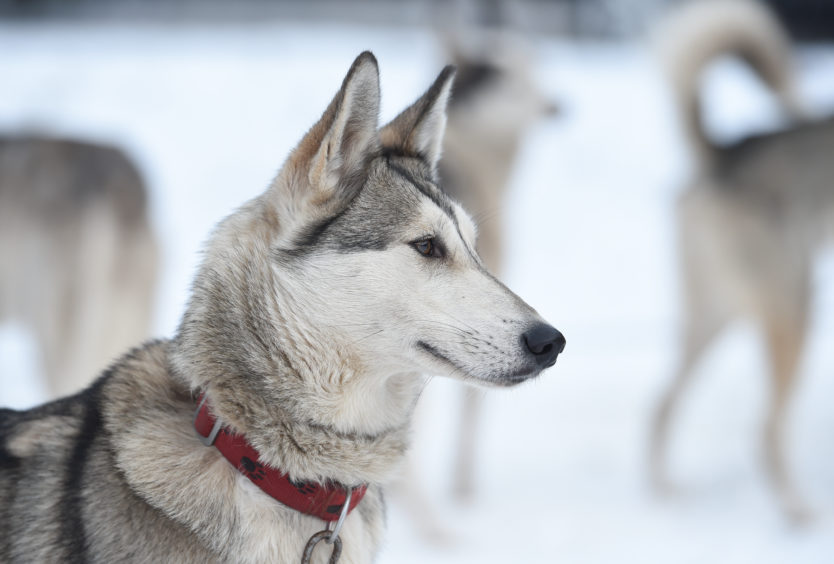 Huskies in the snow  at the Siberian Sled Dog Rally in Aviemore.