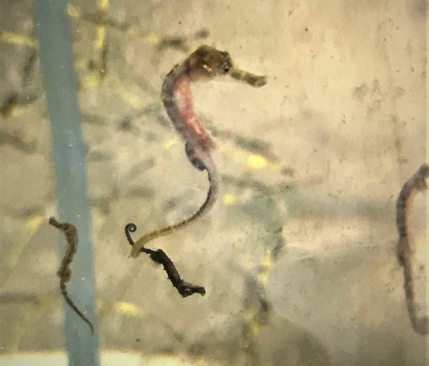 Youngsters from the first and second fries of seahorses in their nursery tank
