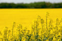 The wasps could help farmers growing oilseed rape.