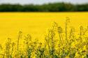 Oilseed rape crop for RAGT Seeds story.