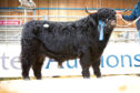 Muran Erchie of Ardbhan sold for 11,000gn at the Highland Cattle Sale in Oban in February 2019. Pic by Catherine MacGregor