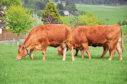 Limousins at a virtual fencing open day at SRUC