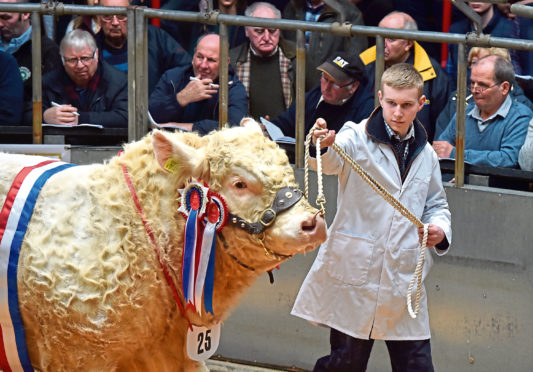 Mark Leggat leads the champion bull through the sale ring as it sells for 9,500gn.