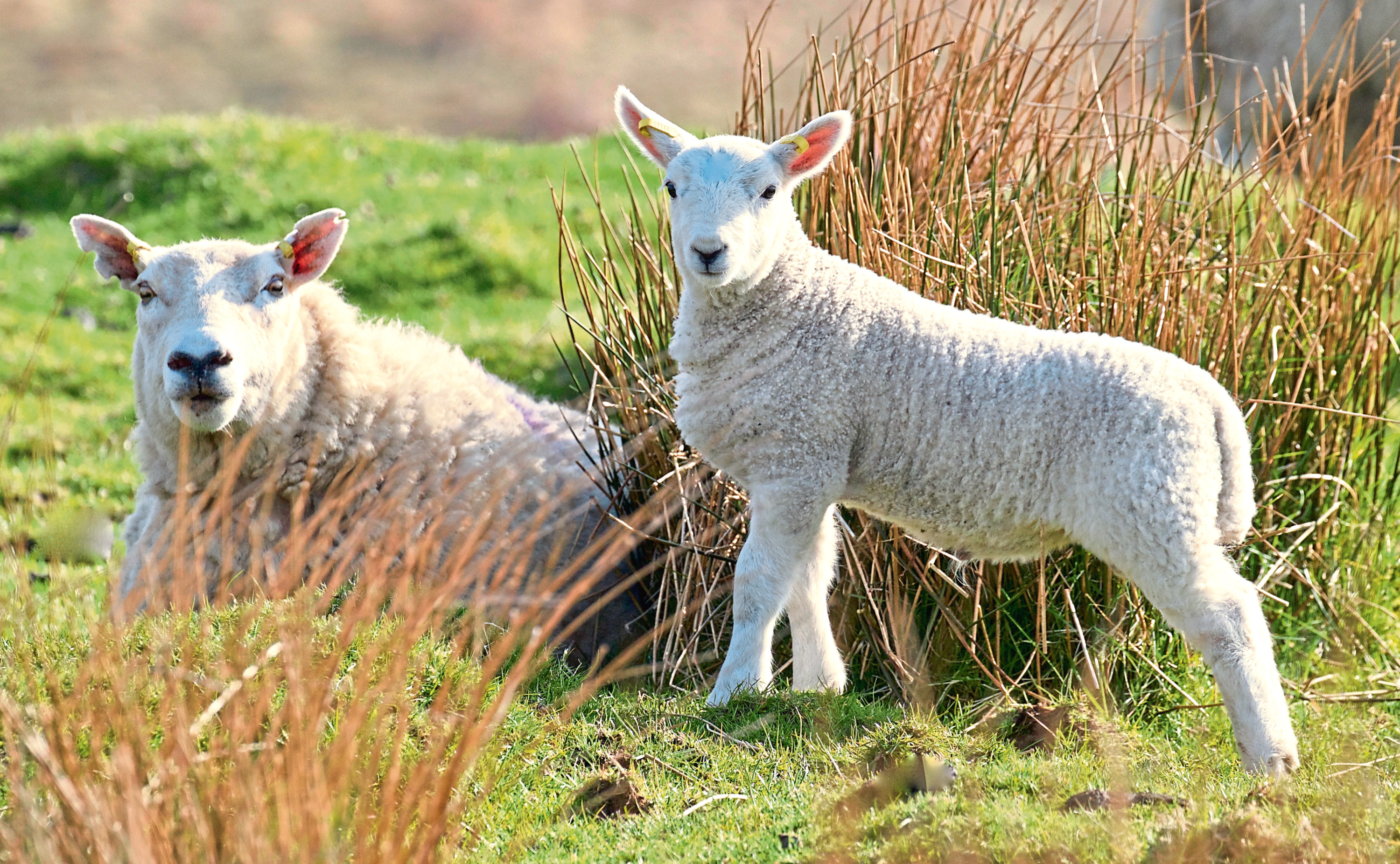LFASS loan offer letters will be sent to more than 10,000 farmers and crofters.
