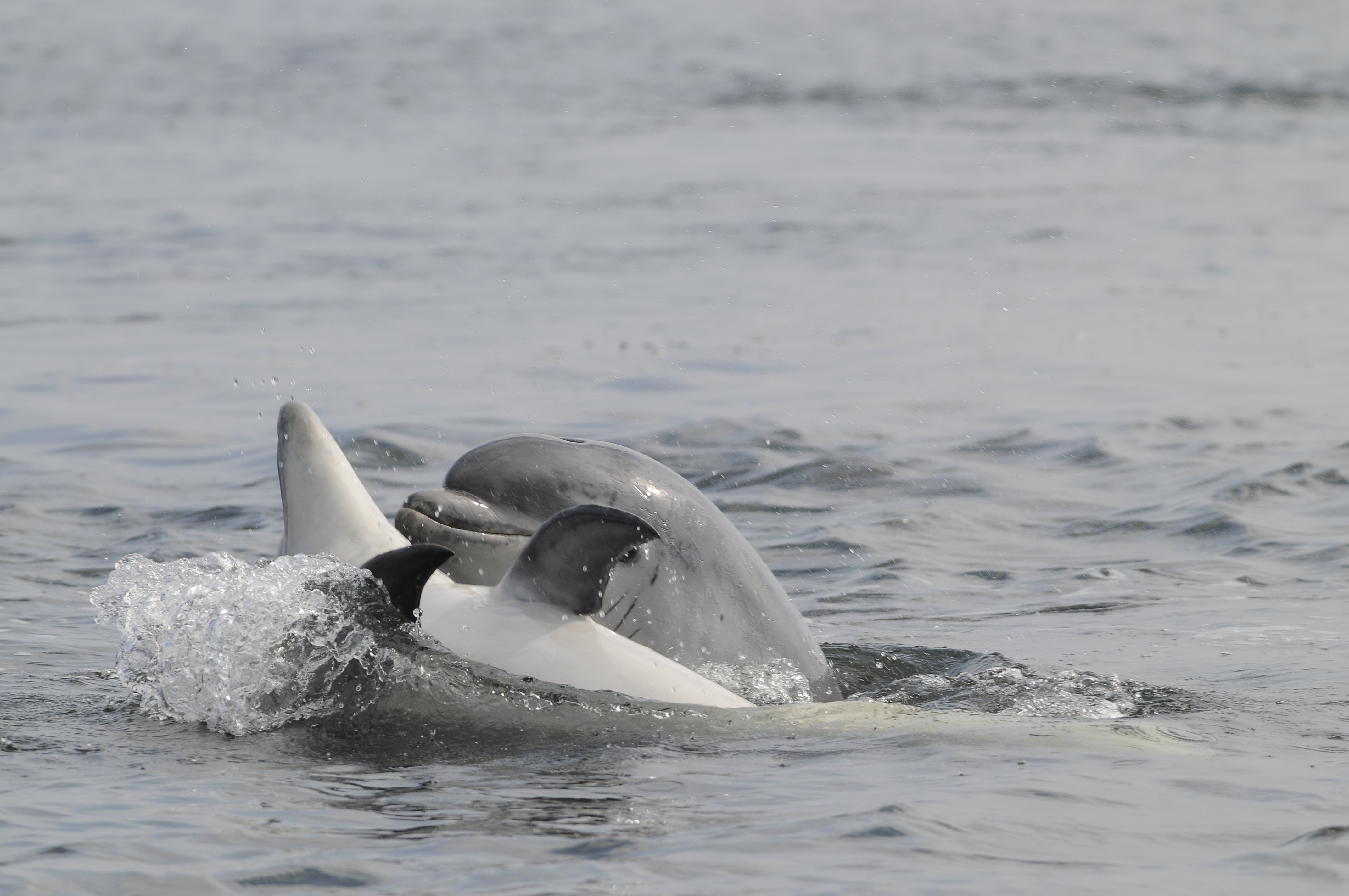 Two dolphins play together in the Moray Firth waters