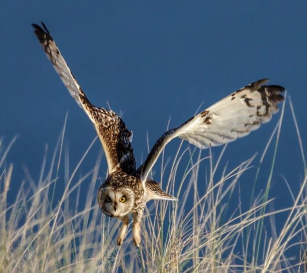 Short-eared owl about to dive on prey