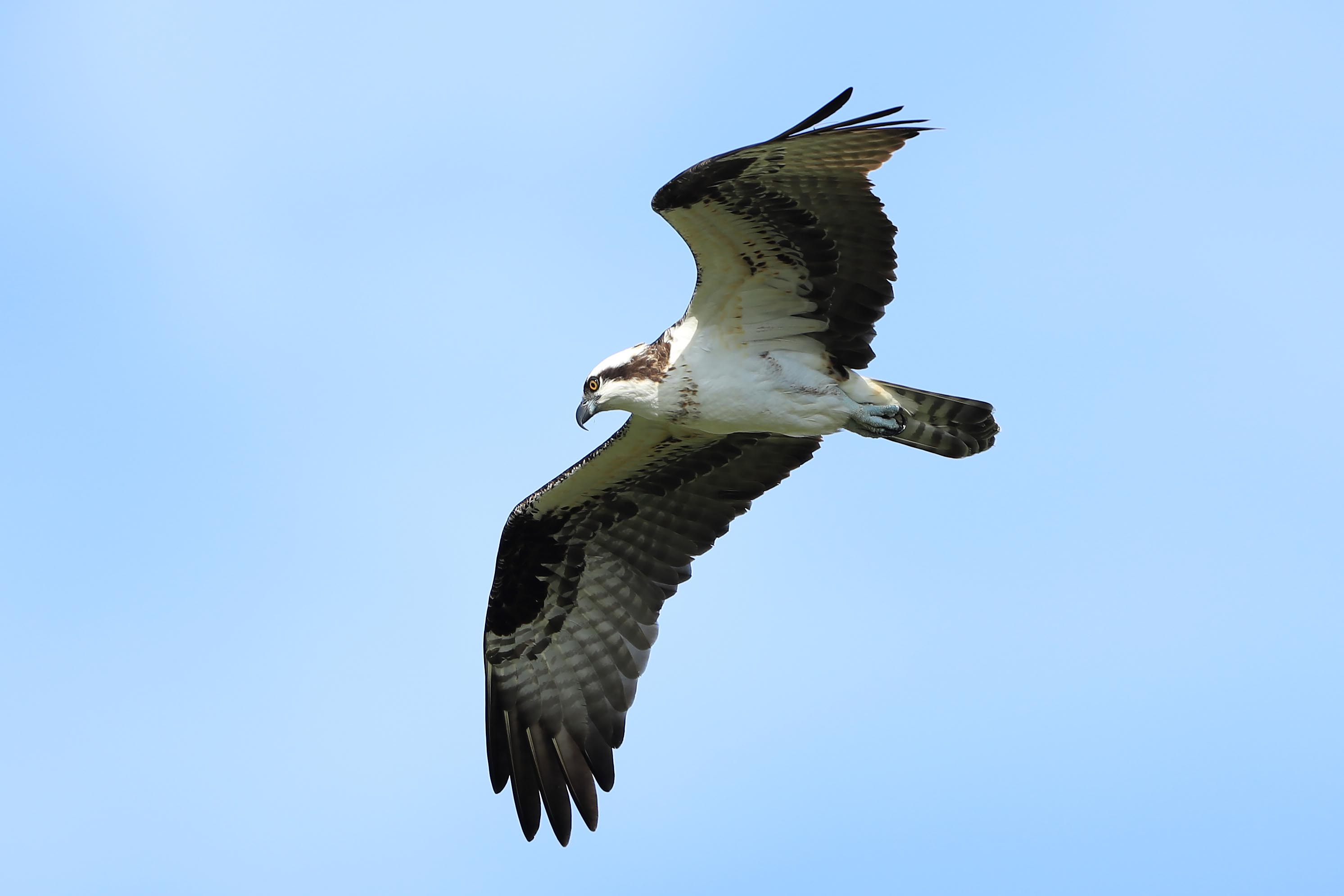 Osprey pictured in the sky