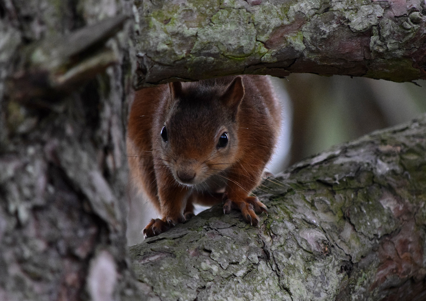 An award-winning photo of a red squirrel at Lossiemouth