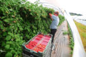 Robots could become commonplace, alongside human pickers, on raspberry farms in the next five to 10 years.