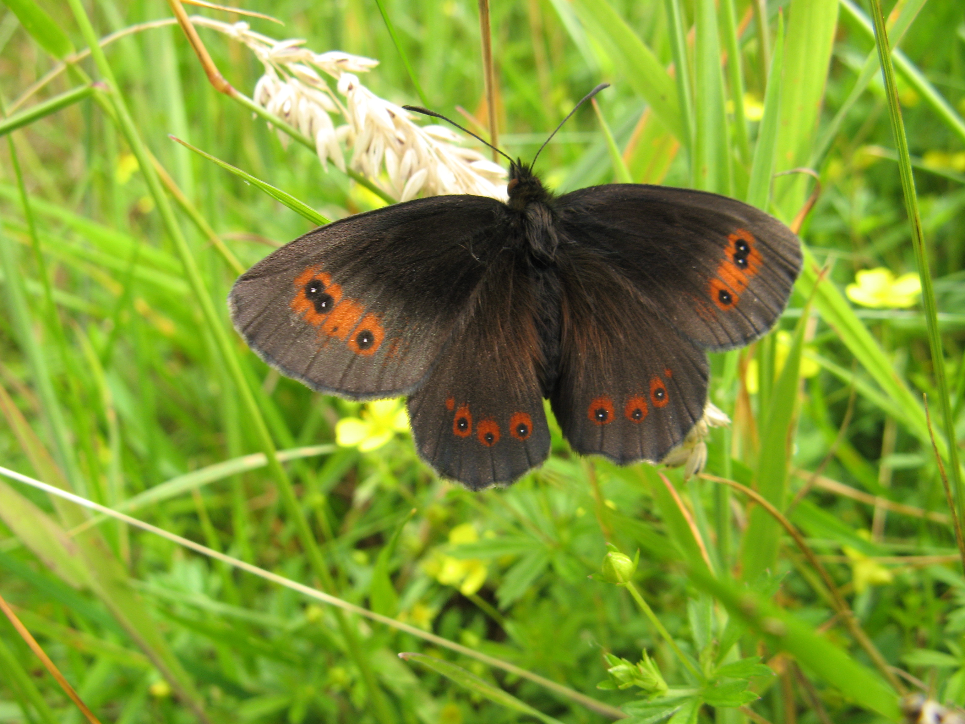 Scotch Argus butterfly