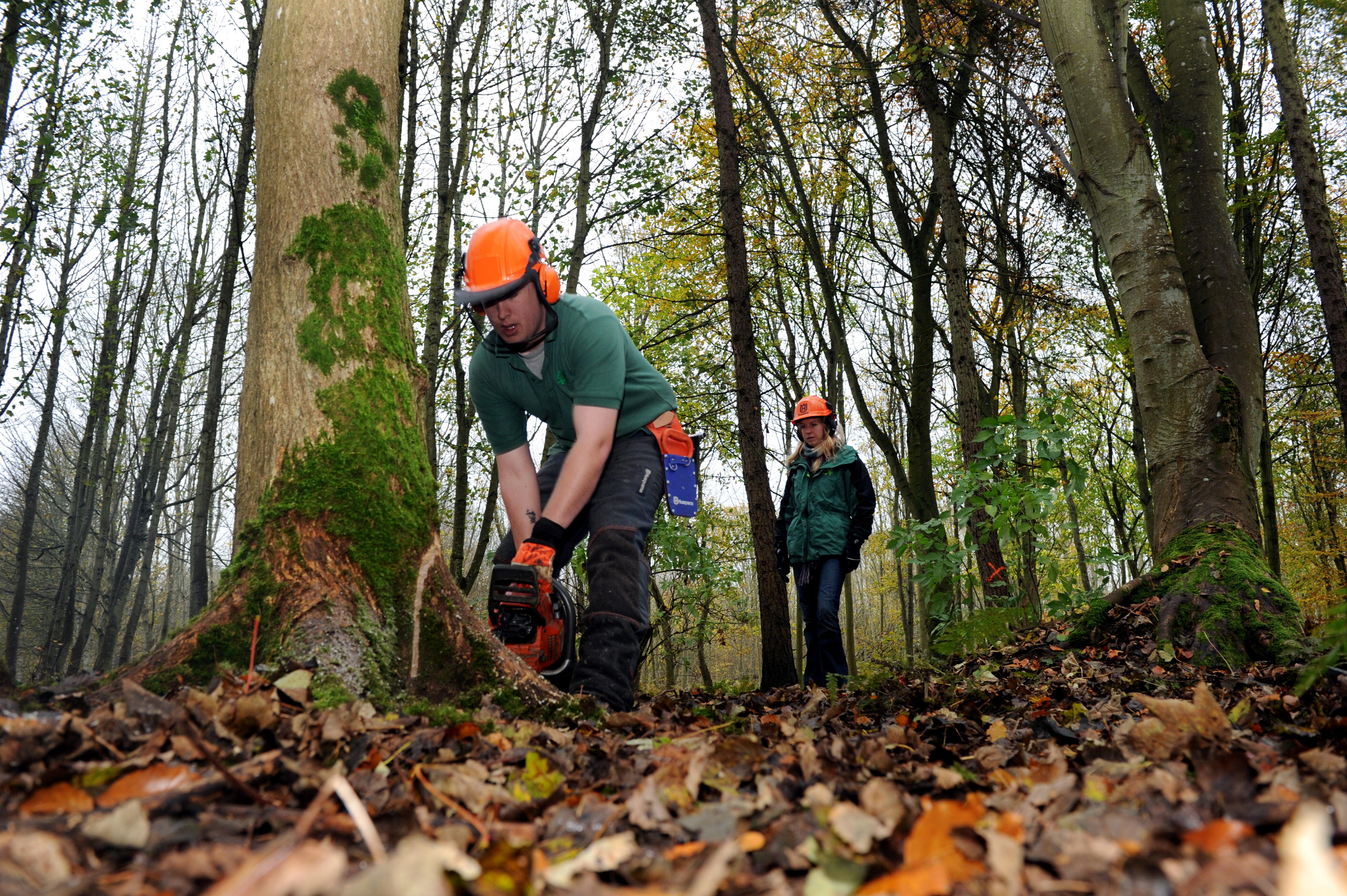 Tree are being cut down after attracting Dutch Elm disease