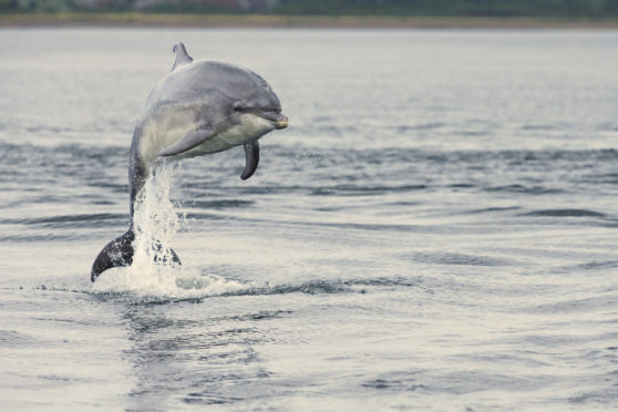 Bottle-nosed dolphins are a familiar sight around the north-east coast. (Picture: Chis O'Reilly/RSPB)
