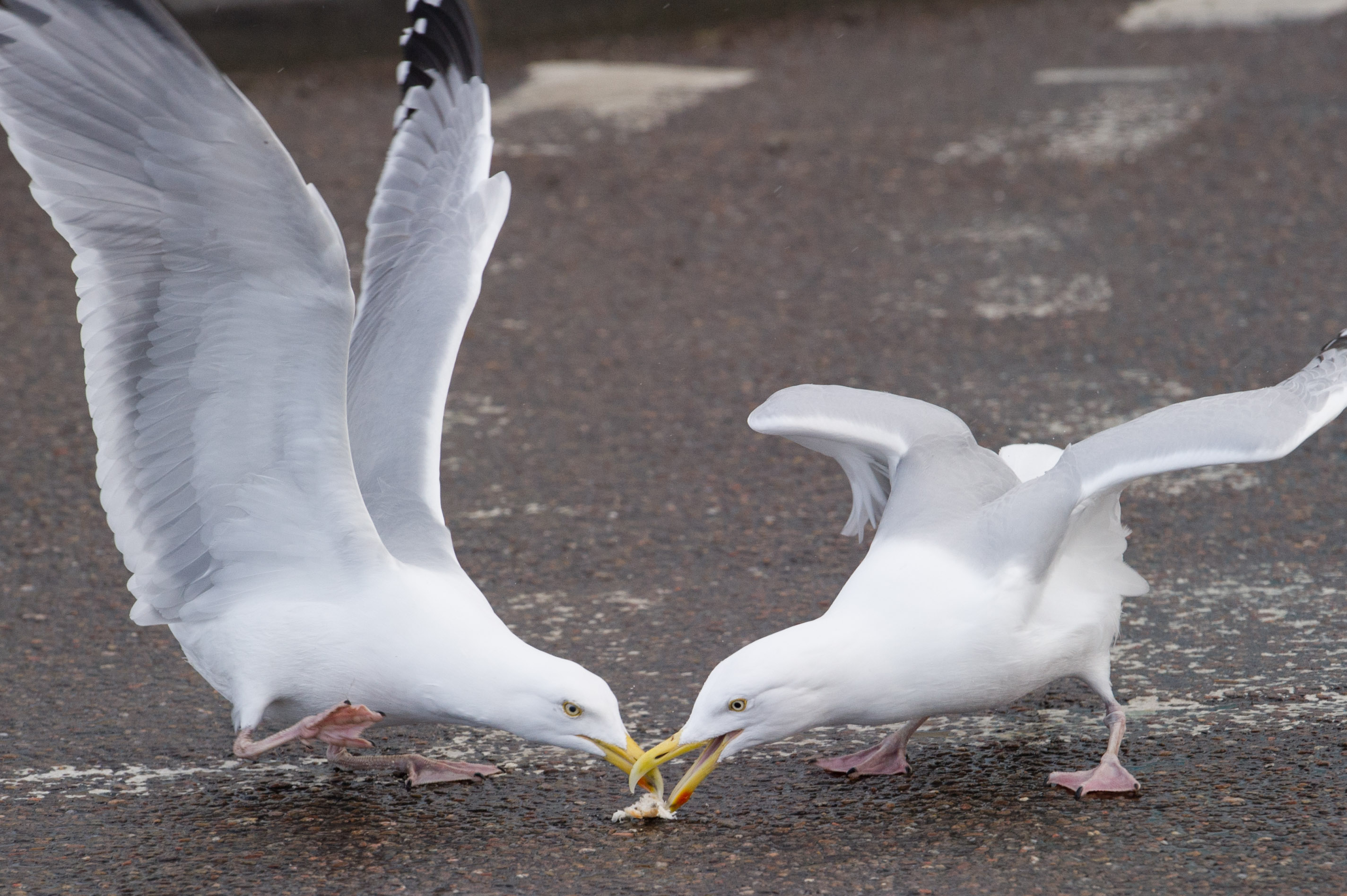 Gulls compete for food in the north east.