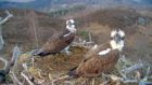 Louis and Aila arrived at the Lochaber nest together shortly after 7pm on Thursday night, and began mating attempts within moments.