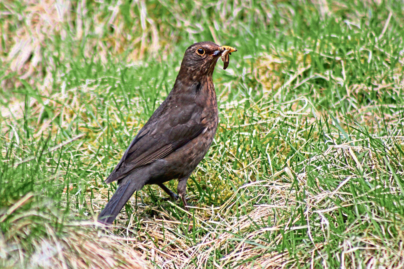 A Blackbird, the most commonly seen farmland bird species in Scotland this year, on the Game and Wildlife Conservation Trust's Scottish demonstration farm at Auchnerran, Aberdeenshire.