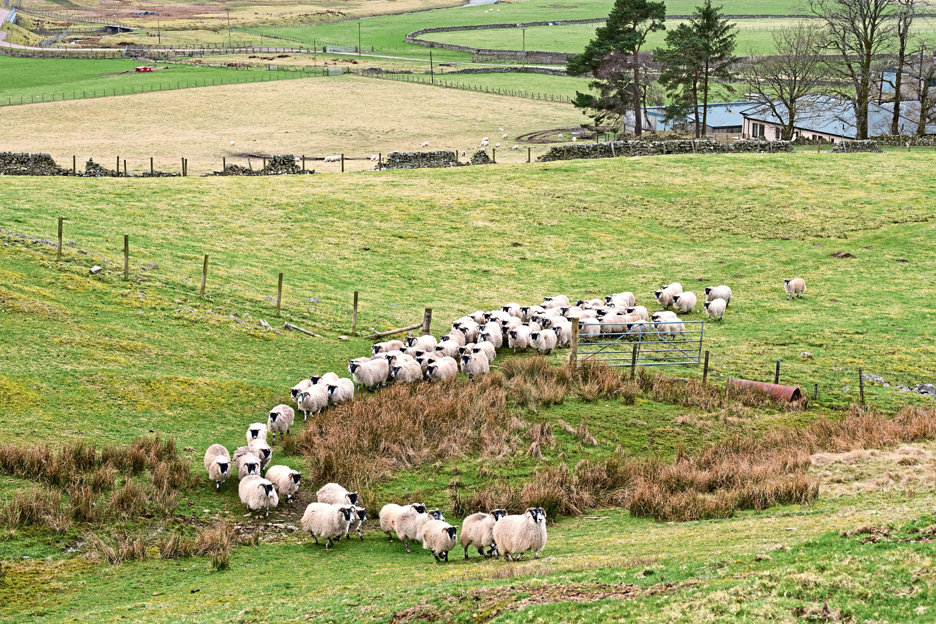 The sheep were said to have been targeted in Turriff