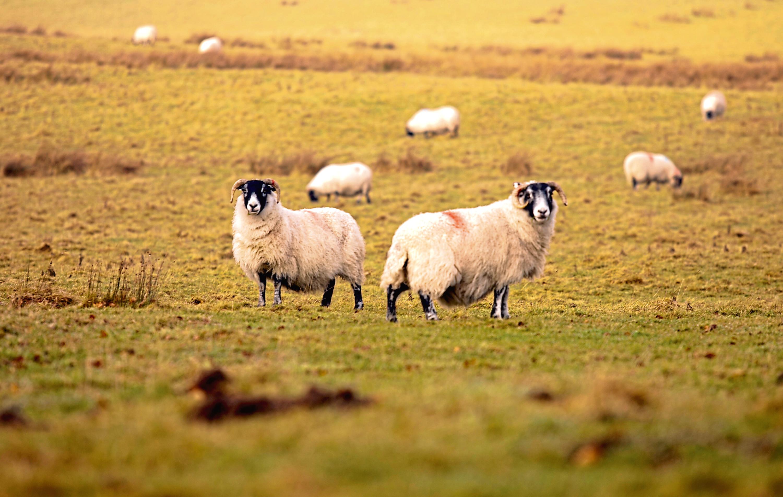 Three sheep were killed.