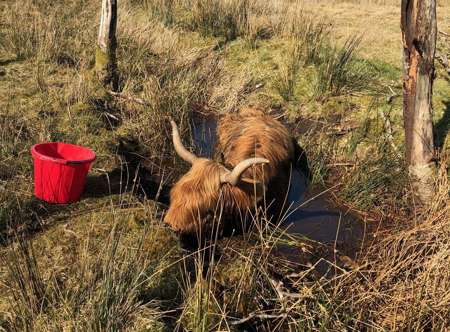 Gigha, a Highland cow that had to be rescued from a ditch, yesterday.