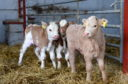 Pictured are the triplet calves at Kinaldie Farm, Logie Coldstone, Aboyne. Picture by DARRELL BENNS