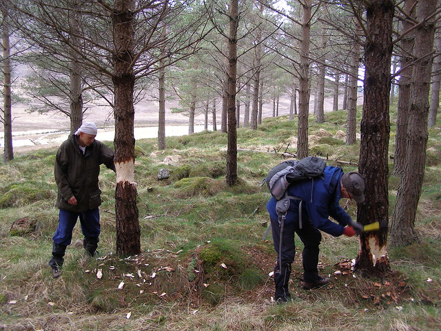 The National Trust for Scotland volunteers will be helping to safeguard woodland at the Mar Lodge Estate.